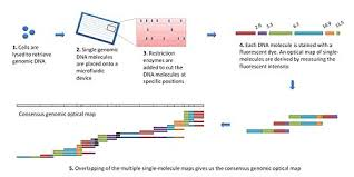 dna mapping optical mapping