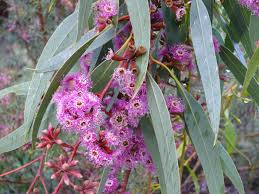 small australian native plants austraflora home of australian native plants