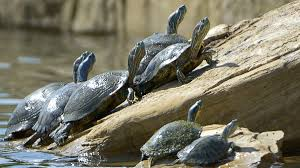 Texas Map Turtle Turtles Exit Water At North Texas Park Thanks To Rock Ramp Built