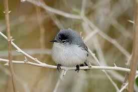 California Birds images Top 10 cutest california birds audubon california jpg