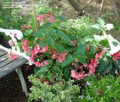 plantfiles pictures begonia shrub dragon wing begonia u0027dragon