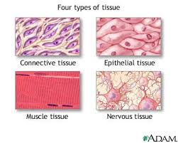 Anatomy And Physiology Glossary Chapter 5 Tissue Ehs Anatomy U0026 Physiology A