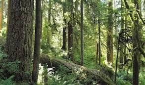 to save the forest don t cut the 1st tree study kuow news and