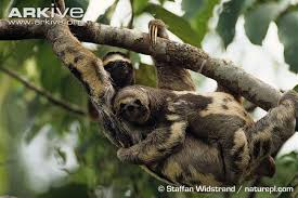 4 toed sloth three toed sloth pictorial
