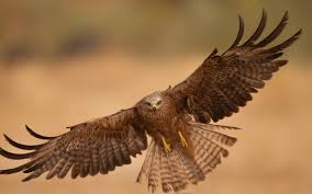strange eagle wallpapers hd background flying eagle bird open wings brown desert wallpaper