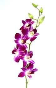 purple orchid flower fresh cut flowers dendrobium orchids bom