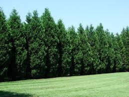 leyland cypress trees for sale fast growing trees