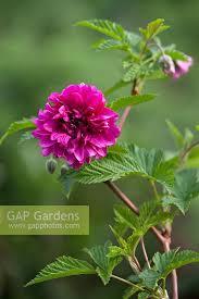gap gardens rubus spectabilis form ornamental bramble