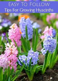 Hyacinth Flower Tips For Growing Hyacinths
