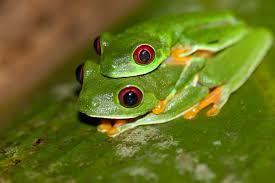 file eyed tree frog agalychnis callidryas 2 jpg wikimedia