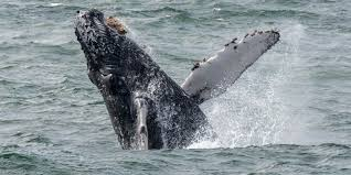 top places for whale watching in california visit california