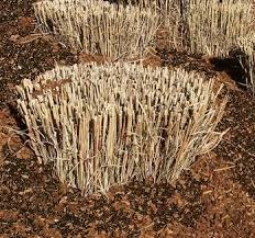 ornamental grass care cutting dividing and planting owg
