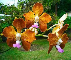 vanda orchid orchid vanda orchid care