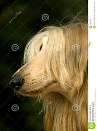 afghan hound dog images afghan hound royalty free stock images image 11829559
