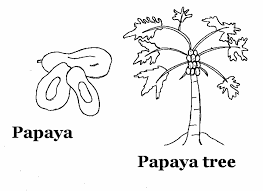 papaya fruit coloring pages fruits coloring pages of