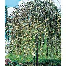 shop 3 25 gallon pink weeping willow tree feature shrub
