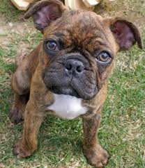 australian shepherd english bulldog mix 10 unreal french bulldog cross breeds you have to see to believe