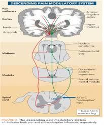 Pain Reflex Pathway Descending Pathways Physiopedia