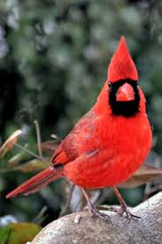 1295 best cardinal love images on pinterest cardinals cardinal