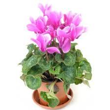 Discount Flowers Discount Flowers Cyclamen 2017 Flowers Cyclamen On Sale At