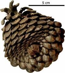 the monterey pine through geologic time