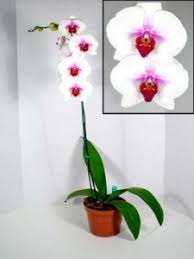 Orchids Care Complete Care Guide To Phalaenopsis Orchid Care