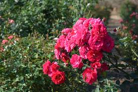 texas roses must be u0027on u0027 year round to make the cut