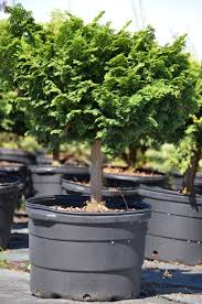 hedging plants budget wholesale nursery home greensboro shrub u0026 nursery