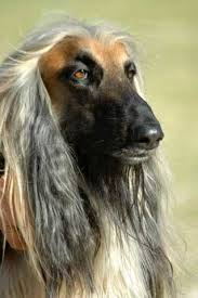 afghan hound weight afghan hound long haired hound breed profile and information
