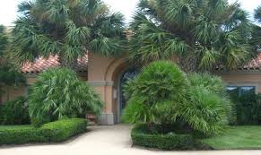 mediterranean fan palm tree cultivating paradise mediterranean fan palms