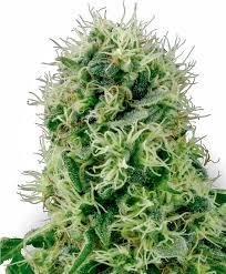cannabis seeds for xxl yields sensi seeds