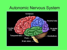 Ans Anatomy And Physiology Autonomic Nervous System Physiology