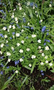 48 best scilla images on pinterest blue flowers bulbs and plants