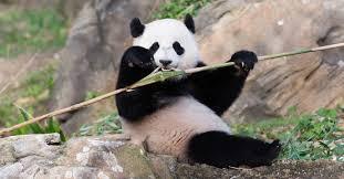 times departure smithsonian u0027s panda bao bao
