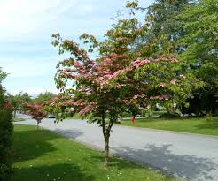small flowering trees wisconsin gardening