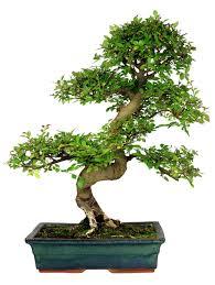 the elm bonsai thesnarkyavenger