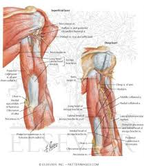 Shoulder And Arm Muscles Anatomy Muscles With Portions Of Arteries And Nerves Muscles Of Arm
