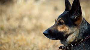 6 self defense tips i learned from my german shepherd owning a german shepherd taught me more about self awareness and safety than any class