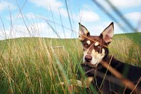 accounting resume exles australian kelpie lab kelpie lovers beware your own red dog comes with hard work abc