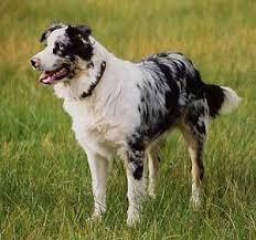 australian shepherd x kelpie a connection between australian shepherds german shepherds and