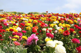Pictures Of Beautiful Flowers In The World - 13 beautiful fields of flowers around the world