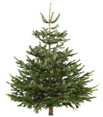 medium nordman fir cut christmas tree departments diy at b u0026q