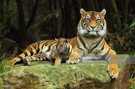 international tiger day international tiger day is held on july 29
