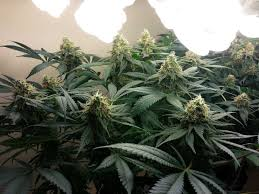 hardest plant to grow best marijuana strains to grow for beginners grow weed easy