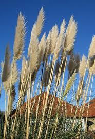 today colorado state and ornamental grasses