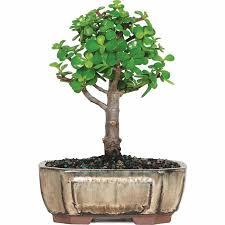 brussel s jade bonsai small indoor walmart