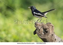 Magpie Birds In Backyards Sea Robin Stock Images Royalty Free Images U0026 Vectors Shutterstock