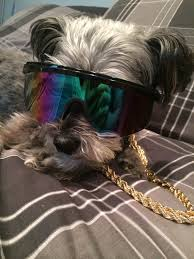affenpinscher good bad these 4 dogs explain your typical college weekend