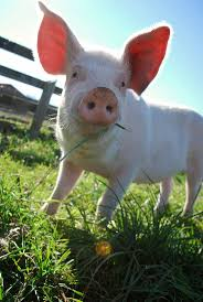 2736 best piglets images on pinterest piglets animals and farm