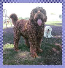 doodle doo labradoodles 147 best september 13 images on friends and dogs